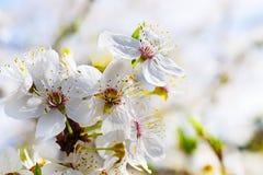 Flores agradables del ciruelo Fotos de archivo