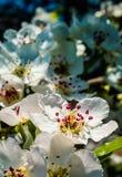 Flores agradables del ciruelo Imagen de archivo libre de regalías
