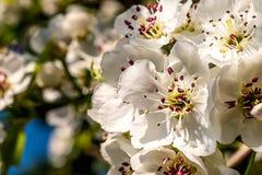 Flores agradables del ciruelo Foto de archivo
