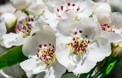 Flores agradables del ciruelo Imagen de archivo