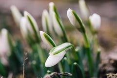 Flores agradables del snowdrop de la primavera Imagen de archivo libre de regalías