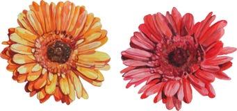 Flores aisladas del gerbera hechas en acuarela Imágenes de archivo libres de regalías