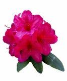 Flores aisladas del rododendro Imágenes de archivo libres de regalías