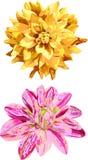 Flores aisladas del sistema 2 de la dalia Fotos de archivo libres de regalías