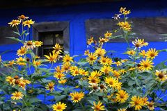 Flores al lado de la casa del pueblo en Ucrania imágenes de archivo libres de regalías