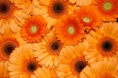 Flores alaranjadas Fotografia de Stock Royalty Free