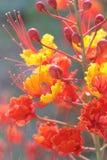 Flores alaranjadas Imagens de Stock