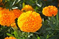 Flores alaranjadas Fotografia de Stock