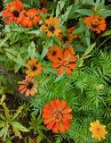 Flores alaranjadas Fotos de Stock