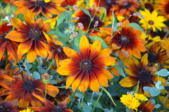 Flores alaranjadas bonitas de susan Fotografia de Stock Royalty Free