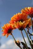 Flores alaranjadas brilhantes Fotos de Stock Royalty Free