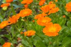 Flores alaranjadas cercadas pelas folhas e por flores verdes Foto de Stock Royalty Free