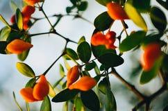 Flores alaranjadas com folhas verdes imagens de stock