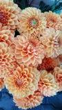 Flores alaranjadas da dália fotos de stock royalty free