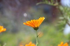 Flores alaranjadas de florescência fotografia de stock royalty free