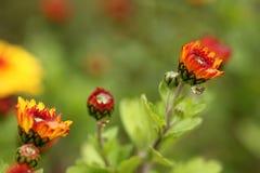 Flores alaranjadas de florescência do crisântemo Fotografia de Stock