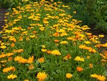 Flores alaranjadas de Officinalis do Calendula do cravo-de-defunto no jardim Imagem de Stock