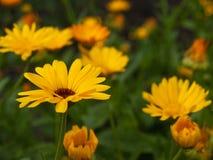 Flores alaranjadas de Officinalis do Calendula do cravo-de-defunto no jardim Imagens de Stock Royalty Free