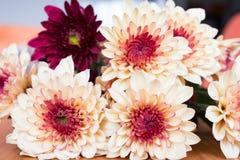 Flores alaranjadas do crisântemo Imagens de Stock