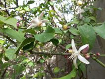 Flores alaranjadas do fruto na árvore verde Fotografia de Stock Royalty Free