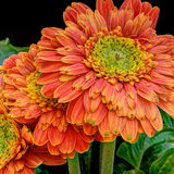 Flores alaranjadas do gerbera Fotografia de Stock Royalty Free