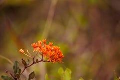 Flores alaranjadas do tuberosa do Asclepias da erva daninha de borboleta foto de stock royalty free