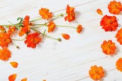 Flores alaranjadas do verão no fundo de madeira branco Imagens de Stock Royalty Free