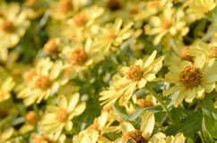 Flores alaranjadas do Zinnia no jardim Fotos de Stock Royalty Free