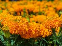 Flores alaranjadas dos cravos-de-defunto Imagens de Stock
