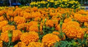 Flores alaranjadas dos cravos-de-defunto Fotografia de Stock Royalty Free