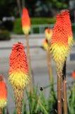 Flores alaranjadas e amarelas Fotografia de Stock Royalty Free