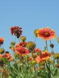 Flores alaranjadas e amarelas contra um céu azul Fotos de Stock Royalty Free