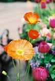 Flores alaranjadas e amarelas da papoila foto de stock