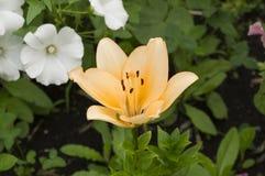 Flores alaranjadas e brancas Fotografia de Stock Royalty Free