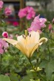 Flores alaranjadas e cor-de-rosa Foto de Stock Royalty Free