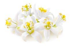 Flores alaranjadas isoladas imagem de stock royalty free