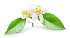 Flores alaranjadas isoladas em um ramo fotos de stock royalty free