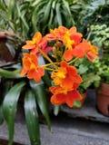 Flores alaranjadas magníficas foto de stock royalty free
