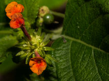 Flores alaranjadas minúsculas e delicadas da planta do Lantana Foto de Stock