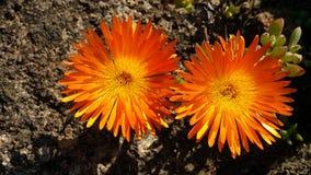 Flores alaranjadas na flor Fotos de Stock Royalty Free