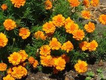 Flores alaranjadas no jardim do verão imagens de stock royalty free