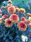 Flores alaranjadas redondas Imagens de Stock Royalty Free