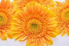Flores alaranjadas suteis do gerbera Imagem de Stock