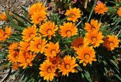 Flores alaranjadas, Sydney Australia Fotos de Stock Royalty Free