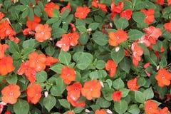 Flores alaranjadas vermelhas de Impatiens Balsamina fotografia de stock royalty free