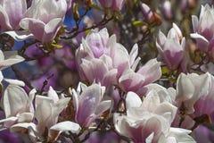 Flores albas da magnólia de pires Fotografia de Stock Royalty Free