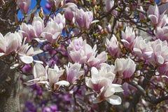 Flores albas da magnólia de pires Imagem de Stock Royalty Free