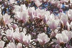 Flores albas da magnólia de pires Fotografia de Stock