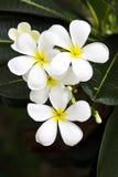 Flores albas do Plumeria Fotografia de Stock
