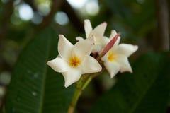 Flores albas do Plumeria bonito após a chuva imagens de stock royalty free